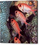 Blackbar Soldierfish Acrylic Print