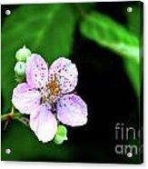 Blackberry Bloom Acrylic Print