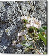 Blackberry On The Rock Square Format Acrylic Print