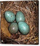 Blackbird Mums Eggs Acrylic Print