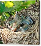Blackbird Nest Acrylic Print