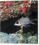 Blackfin Squirrelfish Swimming Acrylic Print