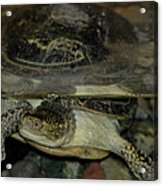 Blandings Swimming Turtle Acrylic Print