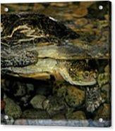 Blandings Turtle Acrylic Print