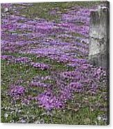 Blank Colonial Tombstone Amidst Graveyard Phlox Acrylic Print by John Stephens
