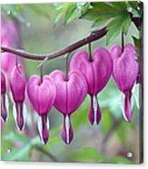Bleeding Heart Acrylic Print by Gail Jankus and Photo Researchers