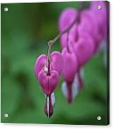 Bleeding Heart Parade Acrylic Print
