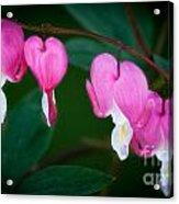 Bleeding Hearts 002 Acrylic Print