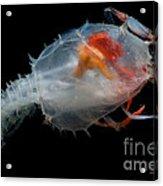 Blind Lobster Acrylic Print