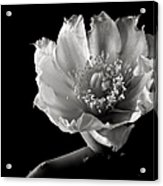 Blind Prickly Pear Cactus In Black And White Acrylic Print