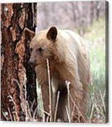 Blonde Bear Acrylic Print