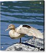 Blonde Duck Acrylic Print