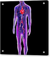 Blood Circulation System Acrylic Print