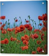 Blood Red Poppies On Vibrant Green And Blue Sky Acrylic Print by Edward Carlile Portraits