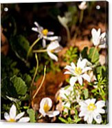 Bloodroot And Spring In The Woodland Acrylic Print