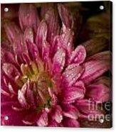 Bloom Acrylic Print by David Taylor