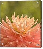 Bloomin' Dahlia Acrylic Print