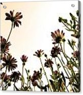 Blooming Above 2 Acrylic Print