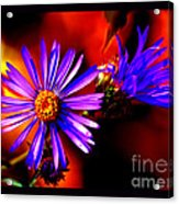 Blooming Asters Acrylic Print