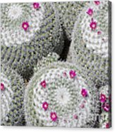 Blooming Cactus Acrylic Print