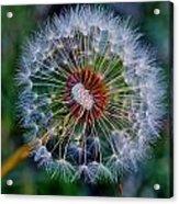 Blooming Dandelion Acrylic Print