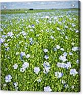 Blooming Flax Field Acrylic Print