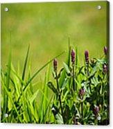 Blooming In Purple Acrylic Print