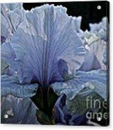 Blooming Iris Acrylic Print