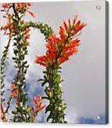 Blooming Ocotillo Acrylic Print