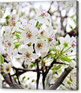 Blooming Ornamental Tree Acrylic Print