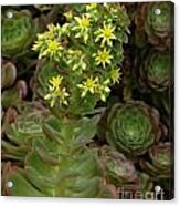 Blooming Succulents Acrylic Print