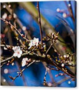 Blooming Tree With White Flowers Acrylic Print