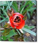 Blooming Tulip Acrylic Print