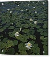 Blooming Water Lilies Fill A Body Acrylic Print