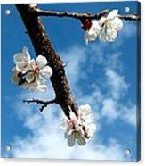 Blossoming Apricot Acrylic Print