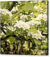 Blossoming Hawthorn Tree Acrylic Print