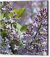 Blossoming Hyacinthiflora Lilacs Acrylic Print