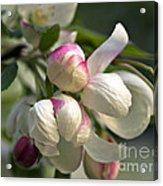 Blossoms And Buds Acrylic Print