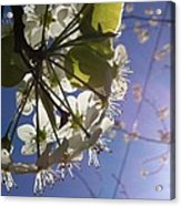 Blossoms In Bloom Acrylic Print by Katie Cupcakes
