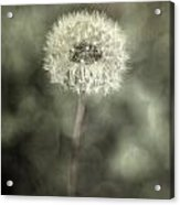 Blowball Acrylic Print