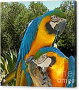 Blue And Gold Macaws Acrylic Print