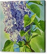 Blue And Lavender Lilacs Acrylic Print