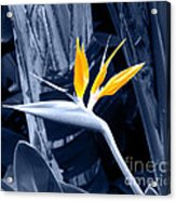 Blue Bird Of Paradise Acrylic Print