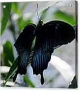 Blue-black Butterfly Acrylic Print