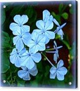 Blue Blossoms Acrylic Print