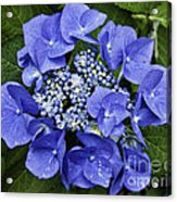 Blue Blossoms Acrylic Print