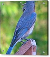 Blue Boy My Yard Bird Acrylic Print