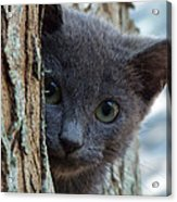 Russian Blue,cat  Acrylic Print