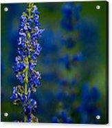 Blue Bunny Acrylic Print