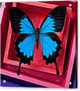 Blue Butterfly In Pink Box Acrylic Print